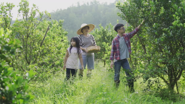 an asian chinese senior woman plucking lime calamondin from her garden farm with her grandchildren