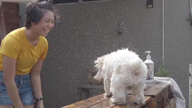 vidéos et rushes de un adolescent chinois asiatique nettoyant vers le haut son caniche de jouet avec le tuyau d'eau et pulvérisent à son animal familier avec l'eau et le shampooing ayant le temps de plaisir et de liaison - prendre un bain