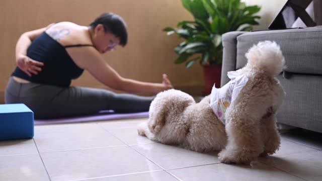 an asian mid adult woman workout yoga at home balcony during the restricted movement order in malaysia with her toy poodle pet animal - postawa filmów i materiałów b-roll