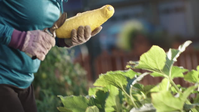 an attractive caucasian woman in her fifties picks a yellow summer squash with her pruning shears from her garden beside her house on a bright, sunny day - zucchini video stock e b–roll