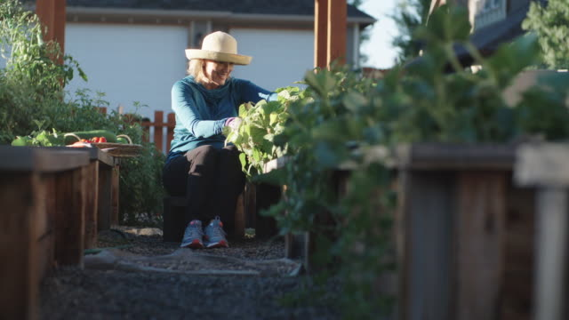 an attractive caucasian woman in her fifties sits on a crate amongst her raised vegetable beds and harvests vegetables beside her house on a bright, sunny day - hobby filmów i materiałów b-roll