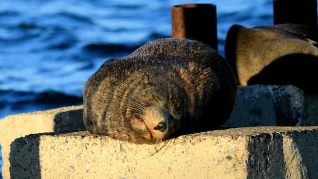 An Australian Fur Seal, Arctocephalus pusillus, relaxing