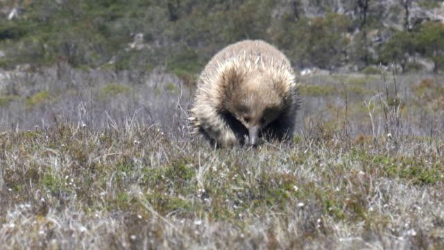 eine echidna nähert sich der kamera in der tasmanischen wildnis - ameisenbär stock-videos und b-roll-filmmaterial