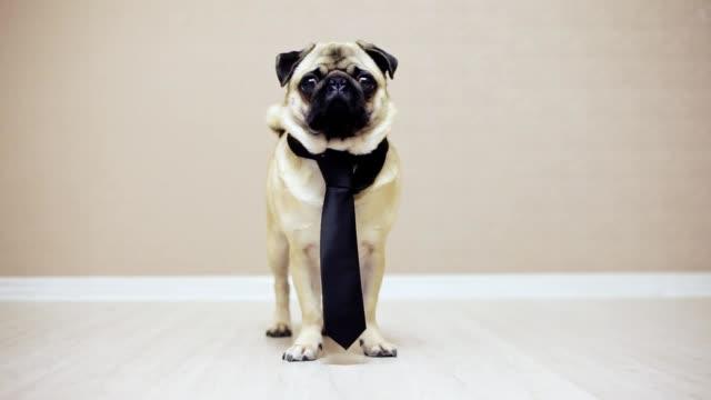 vídeos y material grabado en eventos de stock de un pie de perro pug divertido elegante vestido con una corbata para una boda o como oficinista, mirando a la cámara - corbata