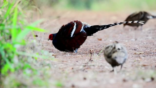 an elegant male hume pheasant,hd video. - animale femmina video stock e b–roll