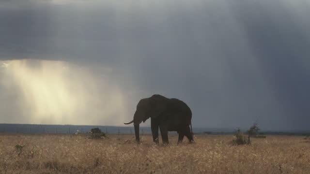 en elefant utfodring medan regnar samlas i bakgrunden - djurhuvud bildbanksvideor och videomaterial från bakom kulisserna