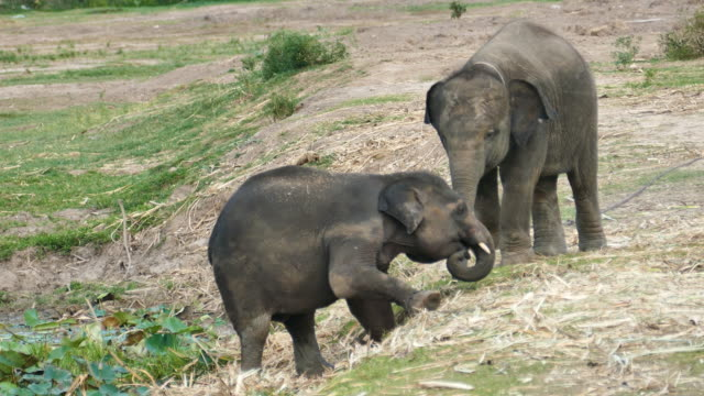 An elephant walks with its baby. video