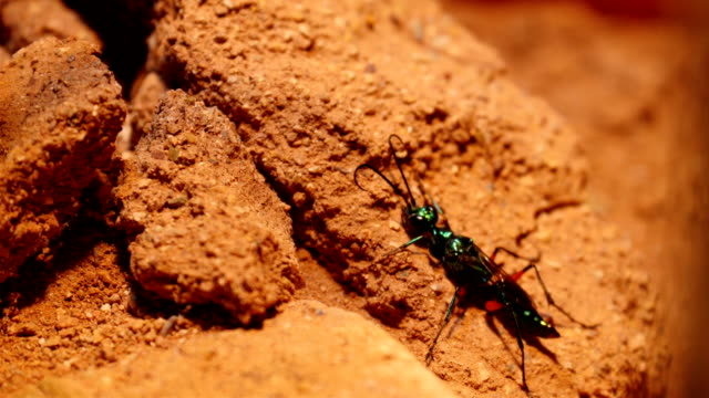 An emerald cockroach wasp crawling into a rotten wood video