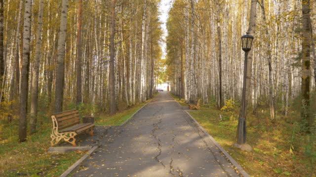 vídeos de stock, filmes e b-roll de uma avenida vazia em um bosque de vidoeiros no outono. folhas amarelas caem das árvores. - bétula