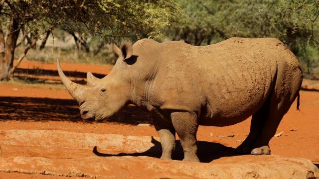 An endangered white rhinoceros (Ceratotherium simum), South Africa