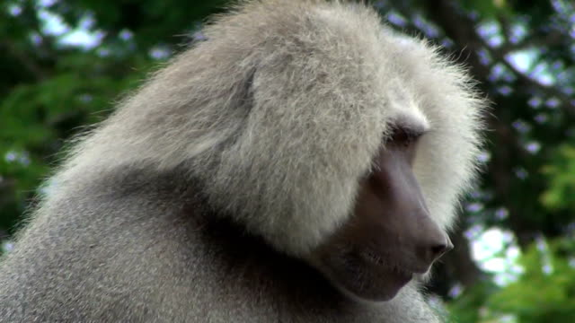 An hamadryas baboon (Papio hamadryas) itching.