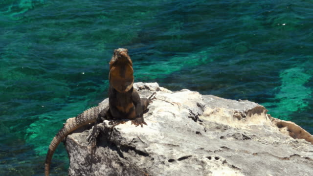 An iguana on a rock with a turquoise water background Isla Mujeres, Quintana Roo, Mexico. An iguana on a rock with a turquoise water background reptile stock videos & royalty-free footage
