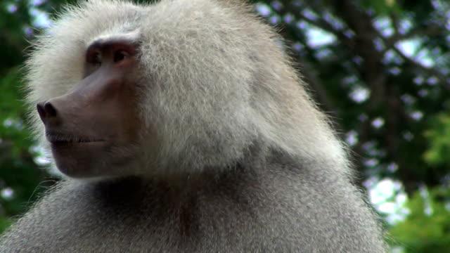 An insect annoys the hamadryas baboon (Papio hamadryas).
