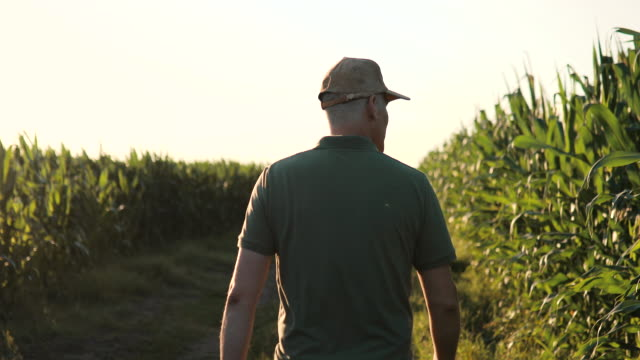 An man walking among and monitoring a corn crop on a vegetable farm. An agricultural farmer in a  hat analyzes the yield of corn. Agronomy business. video