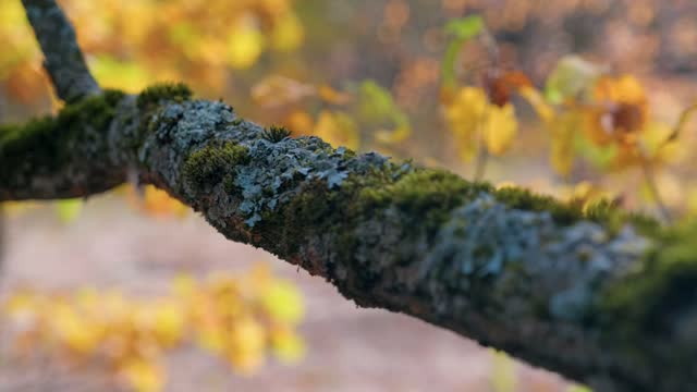An oak branch overgrown with moss and lichen