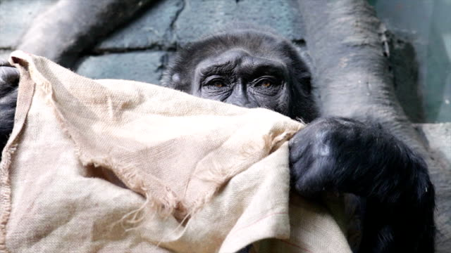 An old gorilla female is searching and sniffing some bagging. video