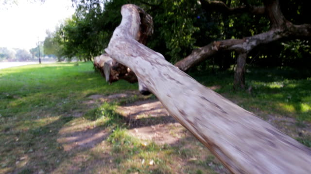 An old tree with an unusual trunk, mutation