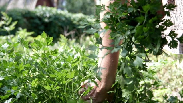 An old woman rips out parsley in her garden
