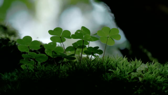An Oxalis acestosella plant on a mystic forest 4K FS700 Odyssey 7Q video