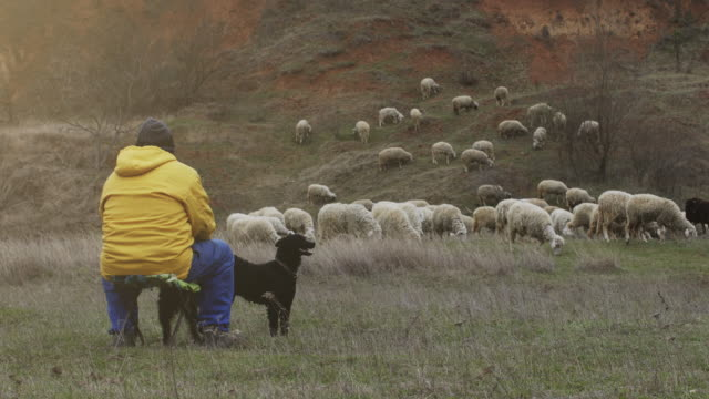 An shepherd is sitting with the dog on the hill and keep the sheep stock video