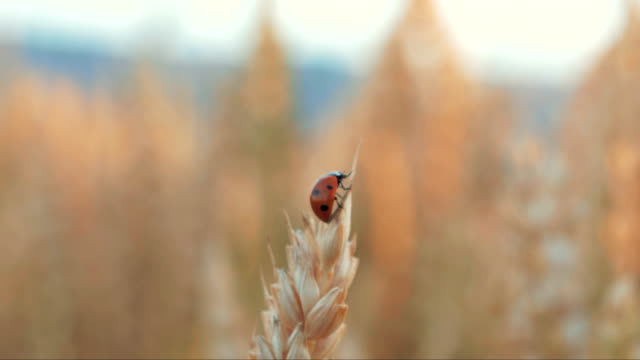 an super extreme macro shot of a tiny red ladybug on top of grains of wheat in a field on a beautiful warm summer evening. nature is beautiful. - жук стоковые видео и кадры b-roll