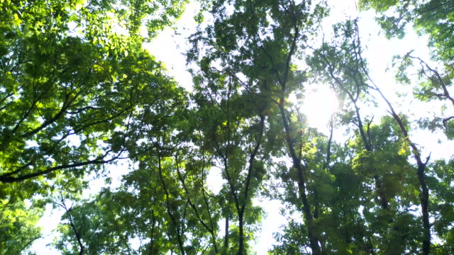 An underside view of leaves on a fern-like plant in the woods. The leaves blow in the wind, with the forest visible in the background. video