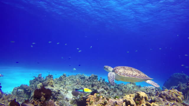 An underwater sea turtle at the bottom the sea A sea turtle swims close to the rocky bottom of the sea turtle stock videos & royalty-free footage