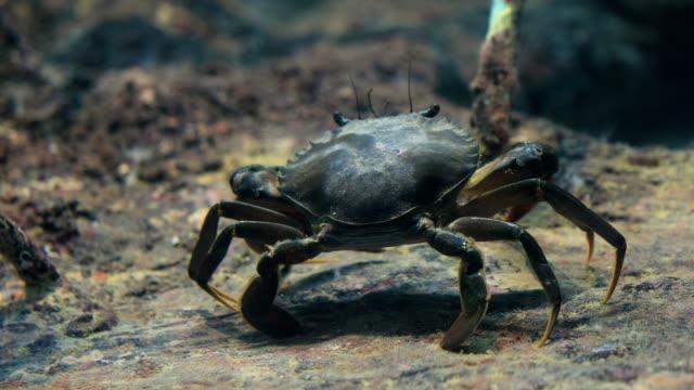 an underwater shot of crab walking along the mangroves, 4k. - granchio video stock e b–roll