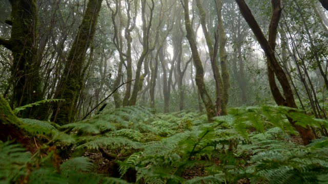 Anaga Rural Park, Tenerife island, Spain. Foggy green forest with rich flora in the mist. typical vegetation of the canary islands Gimbal shot, 4K