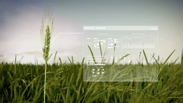 vídeos de stock, filmes e b-roll de colheita de cevada de análise no campo de centeio verde, dados no smart agricultura agricultura inteligente, internet das coisas. 4ª revolução industrial. - culturas