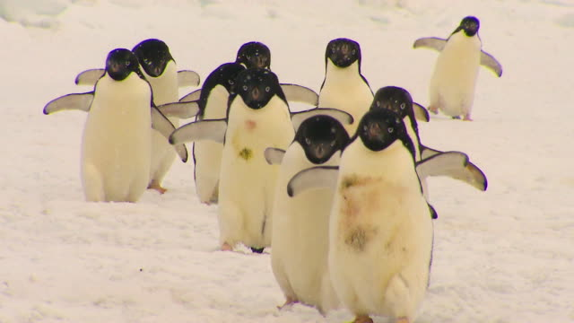 Anarctica Adelie Penguins Anarctica Adelie Penguins group of animals stock videos & royalty-free footage