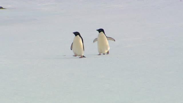 anarctica adelie penguins - antarktyda filmów i materiałów b-roll