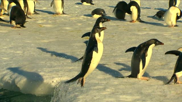anarctica adelie penguins - pingwin filmów i materiałów b-roll