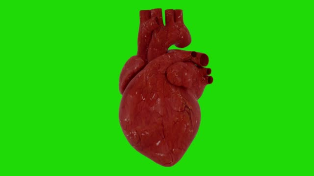 Anatomic human heart animation with green screen, 3d rendering Anatomic human heart animation with green screen, 3d rendering. human heart stock videos & royalty-free footage