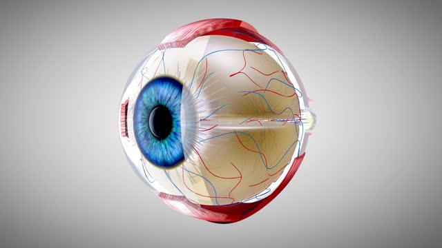 4k 3d anatomisk modell av ett öga - kroppsdel bildbanksvideor och videomaterial från bakom kulisserna