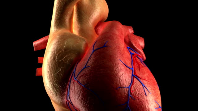Anatomy - Human Heart Beat video