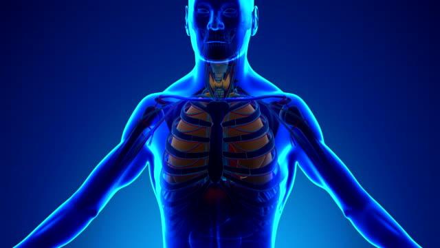 vídeos de stock e filmes b-roll de anatomia de raio x médicos-pulmões humanos digitalizar - ventrículo do coração