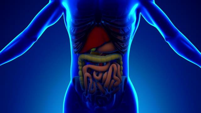 der menschliche bauchspeicheldrüs'anatomie-scan medical x-ray - menschlicher verdauungstrakt stock-videos und b-roll-filmmaterial