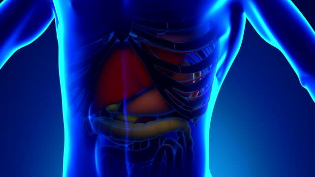 anatomie der menschlichen milz-medical x-ray scan - menschlicher verdauungstrakt stock-videos und b-roll-filmmaterial