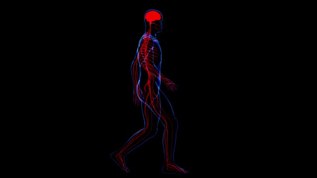 Anatomy of the human body: skin and nervous video