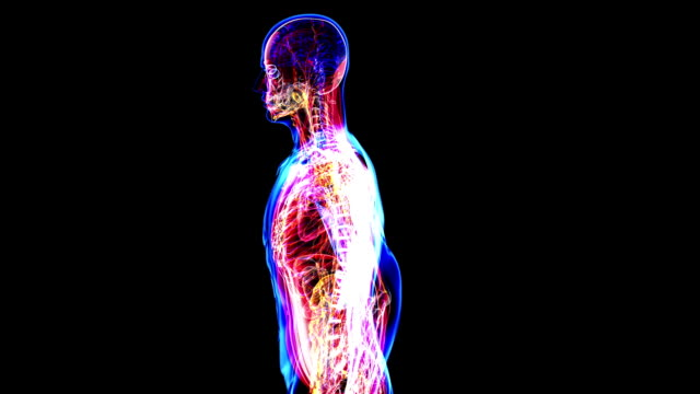 Anatomy of the human body video