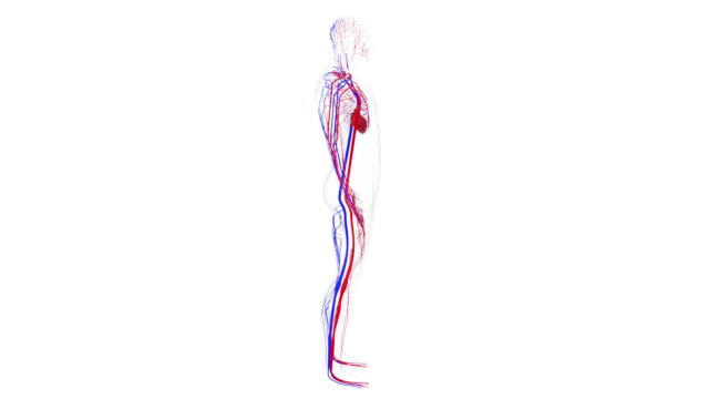 Anatomy of the human circulatory system from head to toe, computer generated. 3d rendering blood vessels. The science background