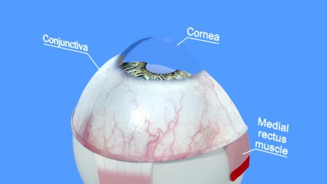 vidéos et rushes de anatomie de l'œil humain. partie 1. - rétine