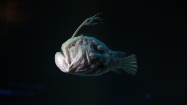 ancient angler fish - żabnicokształtne filmów i materiałów b-roll