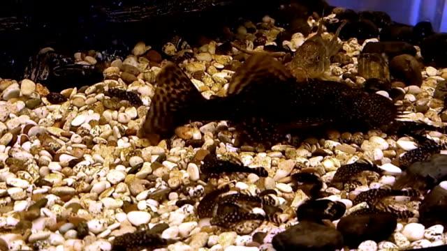 ancistrus catfish fry in an aquarium - siluriformes video stock e b–roll