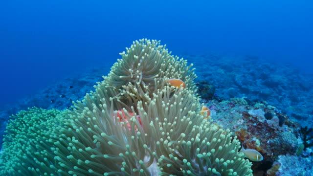 vídeos y material grabado en eventos de stock de peces de anémona, anémonas de mar, comportamiento de relación simbiótica - palaos