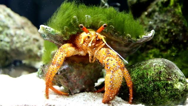 Anemone Hermit Crab video