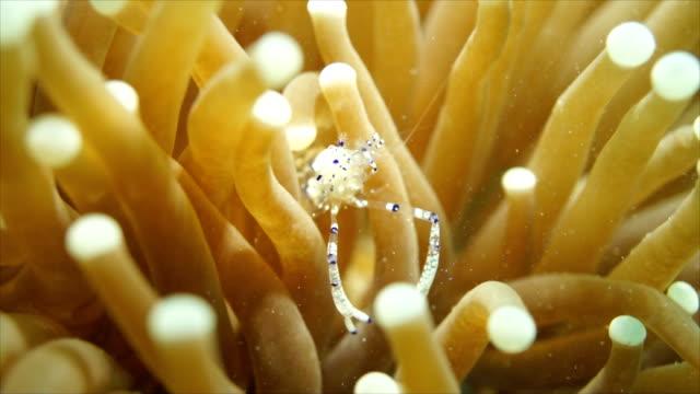 Anemone Shrimp Dancing Shrimp cleaner shrimp stock videos & royalty-free footage