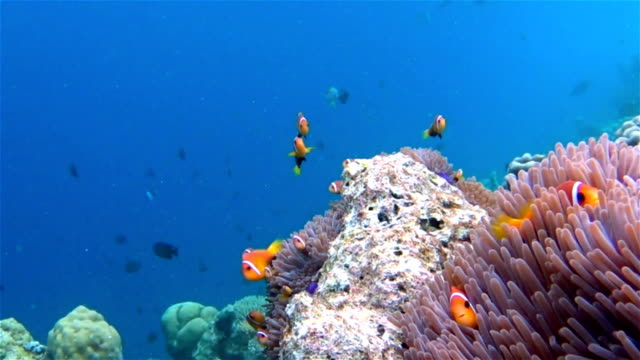 Anemonefish in a anemone on maldives Wildlife clown fish in a anemone on maldives. coral cnidarian stock videos & royalty-free footage