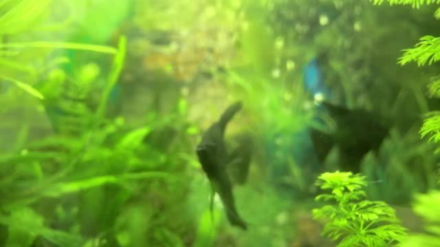 Angelfish Pterophyllum Scalare In Aquarium Fish Black And White